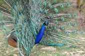 pic of indian peafowl  - Details of a Indian peafowl during courtship - JPG