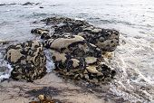 Colony Of Mussels