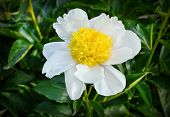 Paeonia Lactiflora (whitleyi Major)