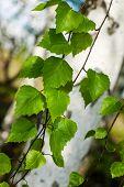 Birch Branches Green Leafs