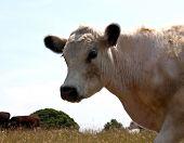 A Portrait Of A White Cow