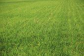 Background of lush green paddy fields