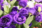pic of purple rose  - Purple roses - JPG