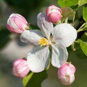 Flower Of Apple Tree