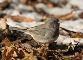 stock photo of snowbird  - A tiny Dark - JPG