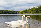 Pair Of Swans At A Lake