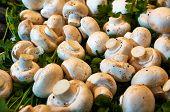 Peeled mushrooms among the greenery