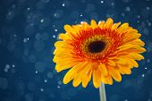 Yellow Daisy On Snow Background