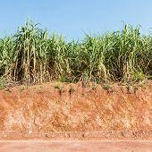 Lateritic Soil And Sugar Cane Plantation