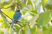 Verditer Flycatcher Male In Nepal