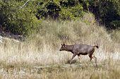 Sambar Deer In Nepal, Bardia national park