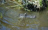 Alligator In Everglades Park In Florida