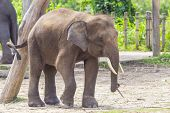 picture of indian elephant  - Indian Elephant child in the zoo  - JPG