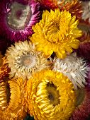 Bouquet of dry straw flower or everlasting(Helichrysum bracteatum)