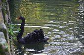 picture of black swan  - A black swan in Pal - JPG
