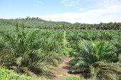 Young palm oil plantation