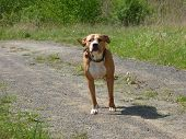 picture of pit-bull  - Guarding pit bull dog standing on path - JPG