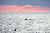 stock photo of water bird  - A flock of birds is silhouetted against the ocean water with the sun setting in the distance - JPG