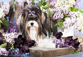 stock photo of yorkshire terrier  - Beaver Yorkshire Terrier and flowers - JPG