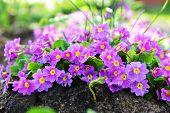 stock photo of primrose  - Pink primrose flowers in garden as background - JPG