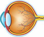 foto of cross-section  - Human Eye  - JPG