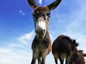 pic of donkey  - Closeup of a donkey on the field - JPG
