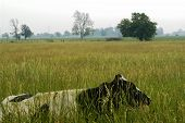 Cow Hiding In Field