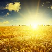 pic of fall-wheat  - Beautiful sunrise over a field of wheat - JPG