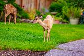 image of mule  - Wild mule deer strides in suburban backyard grazing on the lawn - JPG