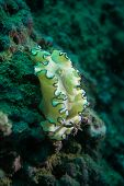 image of echinoderms  - Underwater photography of a nudibranch in ocean - JPG