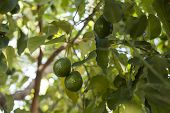 stock photo of avocado tree  - Close up of Avocados growing on tree - JPG