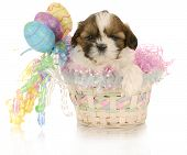 picture of easter basket eggs  - adorable shih tzu puppy sitting in easter basket with reflection on white background - JPG