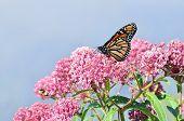 Monarch Butterfly (danaus Plexippus) On Swamp Milkweed Wildflower