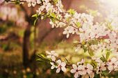 Постер, плакат: Flowering Cherry Tree