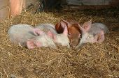 Baby Pigs In Hay