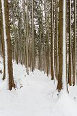 Snowy Footpath Trail In Forest Many Tree Trunks Winter poster