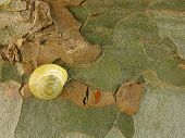 Artistic close up of a yellow snail on a Platanus tree
