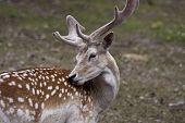 Michigan Elk