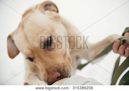 poster of Cute Golden Labrador Sniffing Person Hands In Snowy Winter Park. Mixed Breed Labrador On A Walk And