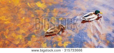 poster of Two Mallard Ducks On A Water In Dark Pond With Floating Autumn Or Fall Leaves, Top View. Beautiful F