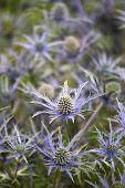Eryngium 'cobalto Star'