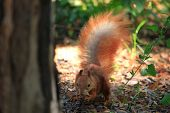 Small, Cute And Furry Squirrel Is Eating Nut In Spring City Park poster