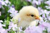 Chick In Flowers