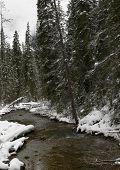 Winter Creek And Evergreens