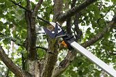 Seasonal Pruning Trees With Pruning Shears. Gardener Pruning Fruit Trees With Pruning Shears. Taking poster