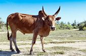 stock photo of cattle breeding  - Zebus - JPG