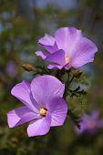 Five Petaled Purple Flower