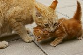 Blurred Image Of A Ginger Cat Holding A Little Kitten In The Mouth. Animals, Pets, Family Concept. С poster