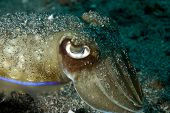 Broadclub Cuttlefish with Sand in Lembeh Straits