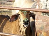 stock photo of brahma-bull  - Baby brahma bull eating alfalfa while getting it one his head and nose - JPG
